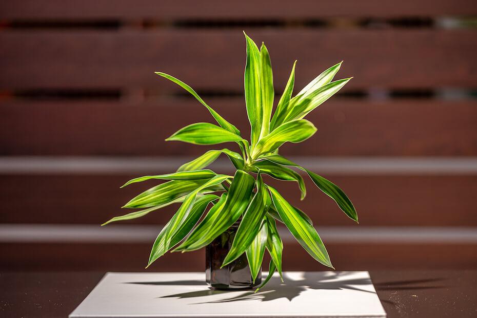 Shutterstock: Beautiful green leaves song of Jamaica tree. (Dracaena reflexa (Decne.) Outdoor garden