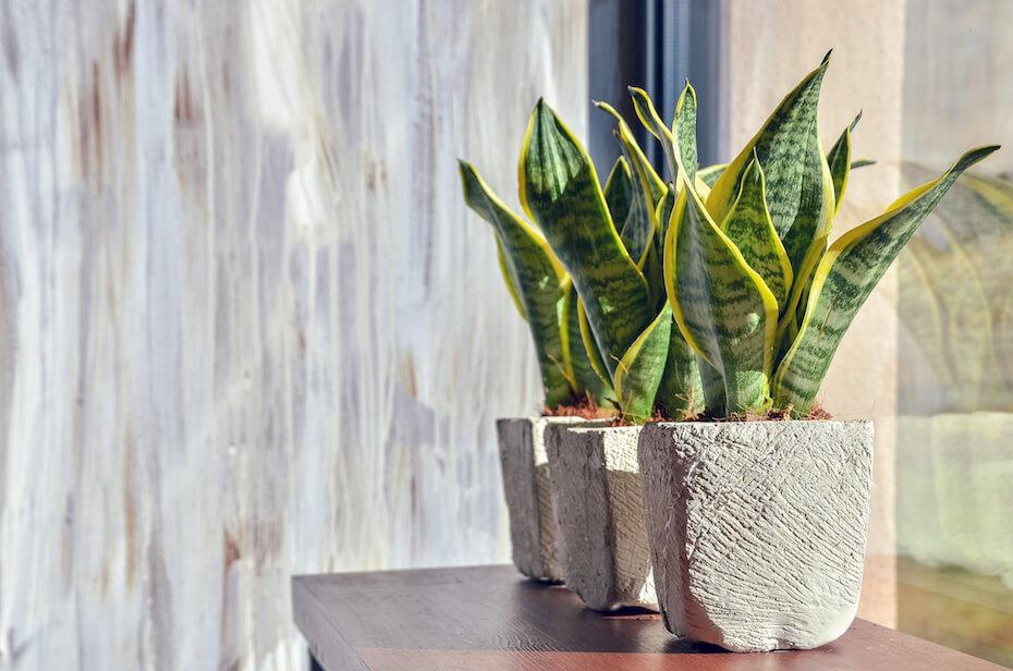 Shutterstock Snake plants in pots on light grey grunge background