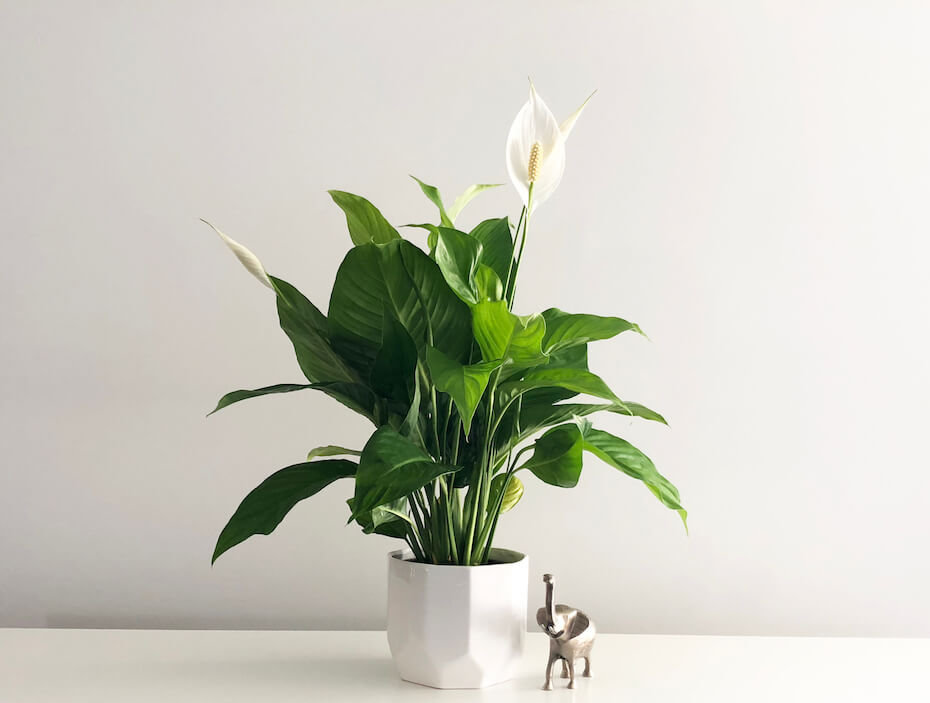 Shutterstock: Isolated peace lily house plant on empty white desk