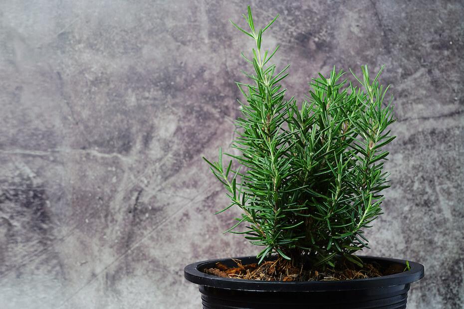 Shutterstock: Rosemary Tree in Terracotta Pot on gray background. Rosmarinus officinalis. Fresh aromatic rosemary in a pot on background