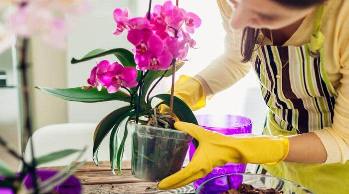Shutterstock: Woman transplanting orchid into another pot on kitchen. Housewife taking care of home plants and flowers