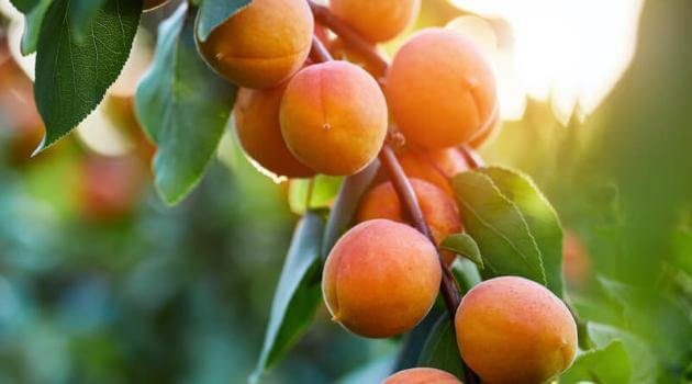 Shutterstock: many ripe orange/red apricots hanging from a tree branch in the sun