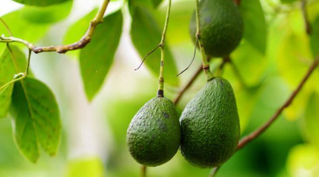 Shutterstock: close-up of green avocados growing from tree