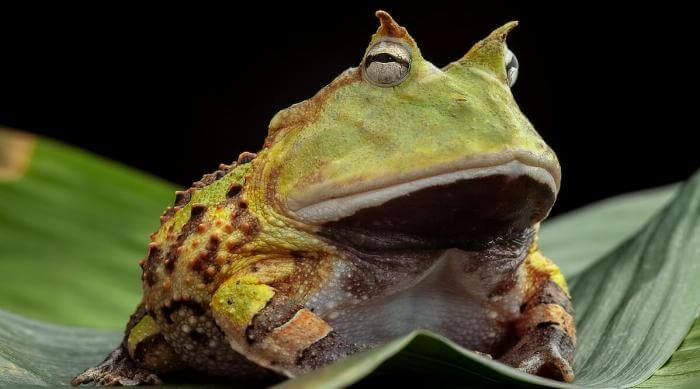 Shutterstock: Pacman frog or toad, South American horned frogs Ceratophrys cornuta Tropical rain forest animal living in the Amazon rainforest of Brazil Suriname kept as exotic pet animal