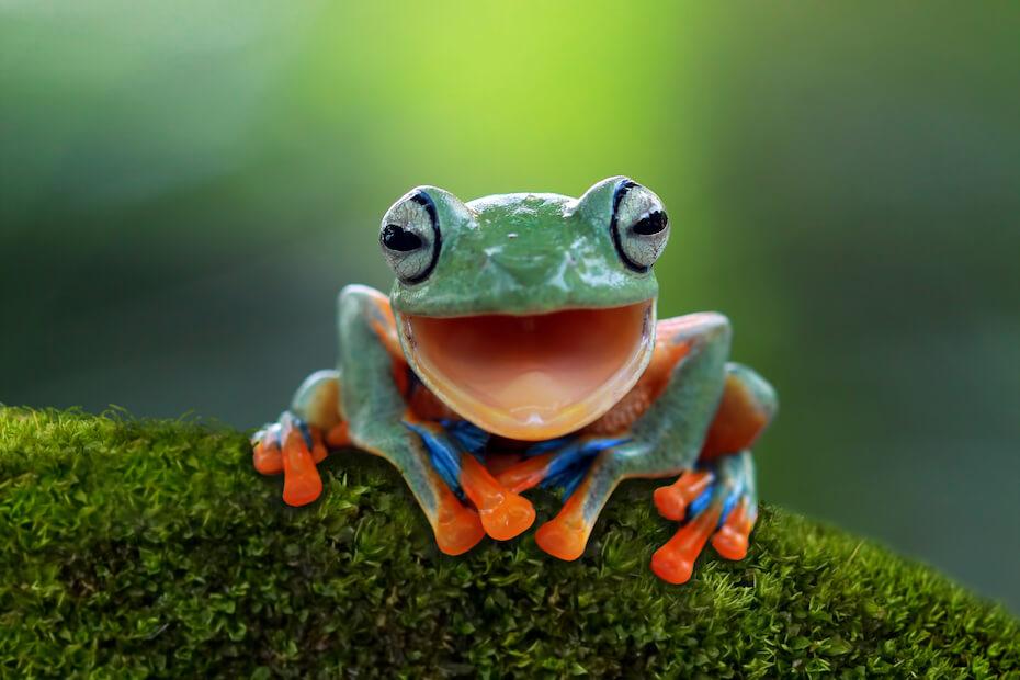 Shutterstock: Tree frog, Flying frog laughing, animal closeup