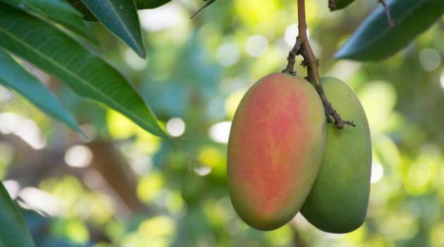 Shutterstock: two mangoes, colored green and orange-red, hanging from mango tree