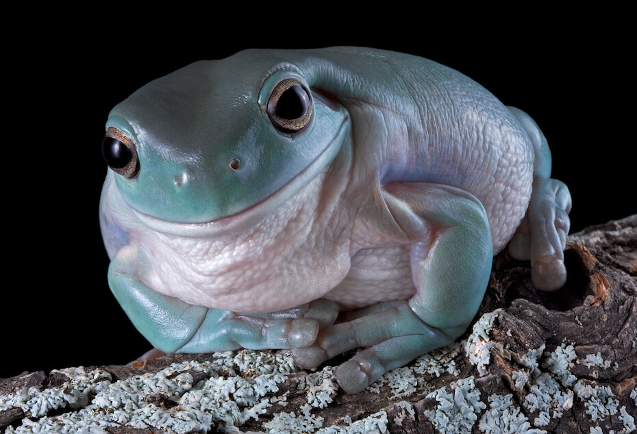 Shutterstock: A whites tree frog has a smirk on his face while sitting on a log.