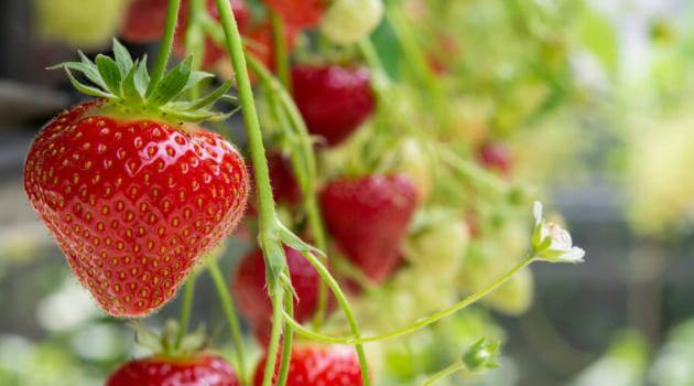 Shutterstock: ripe strawberries growing from the vine