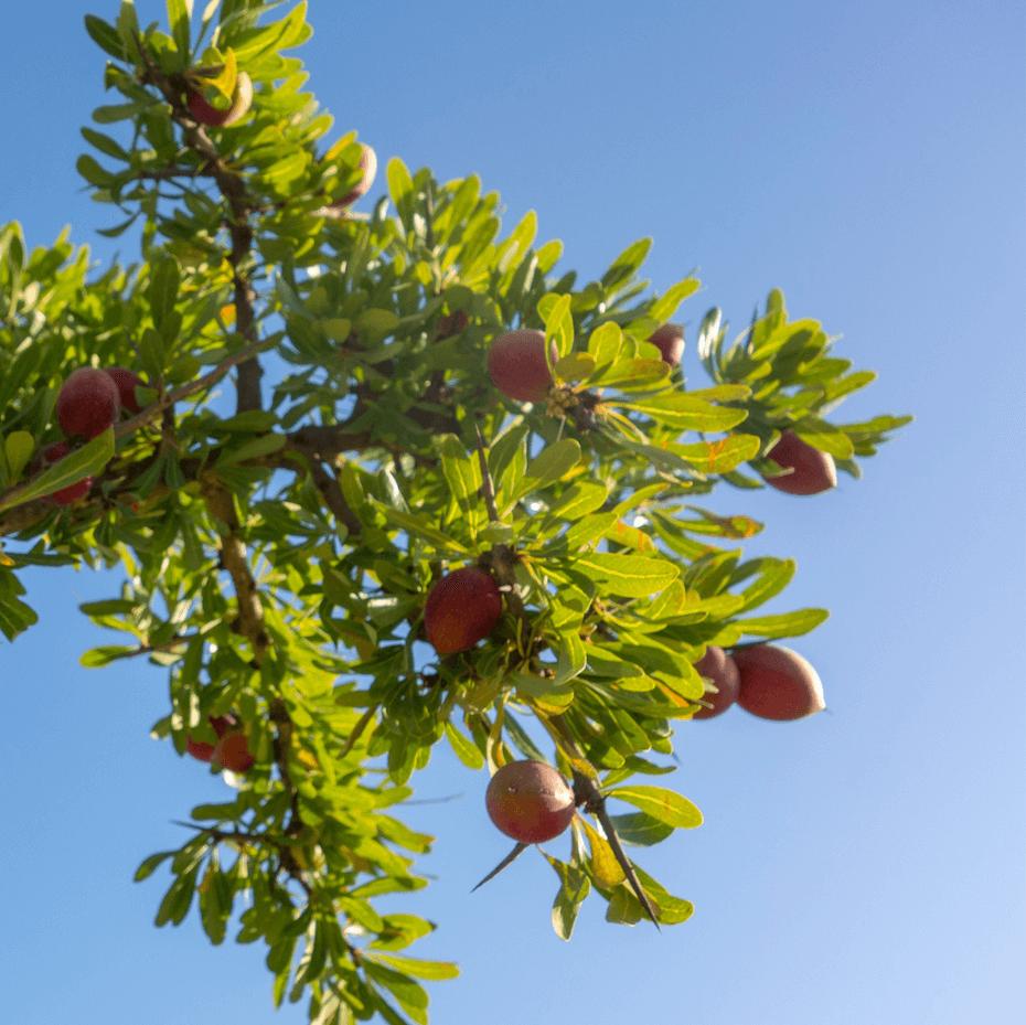 Beauty Nut: Argan oil tree