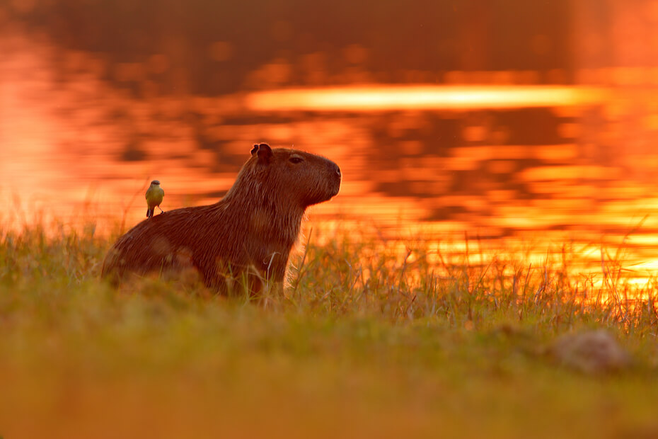Shutterstock: Cute capybara at sunset with bird