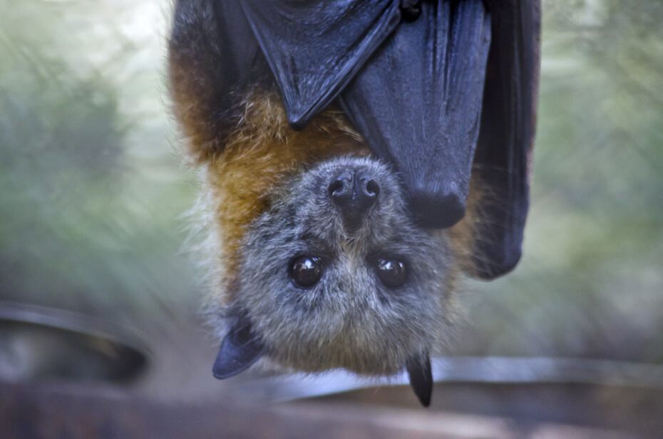 Shutterstock: this is a close up of a fruit bat