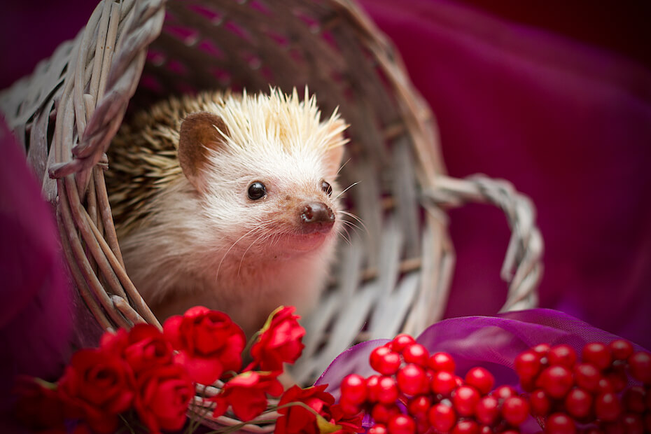 Shutterstock: beautiful and cute fun small young african pygmy hedgehog with flower decoration in vintage background