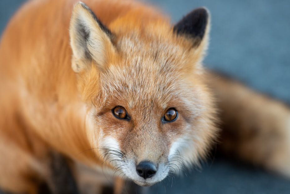 Shutterstock: A cute young wild true red fox stands on all four paws attentively staring ahead as it hunts. It has a sharp piercing stare, orange soft fluffy fur and a long red tail with a white patch at the end.