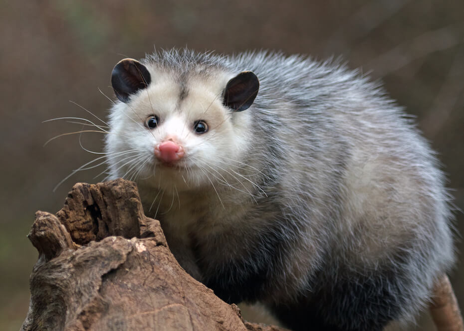 Shutterstock: young possum on a branch