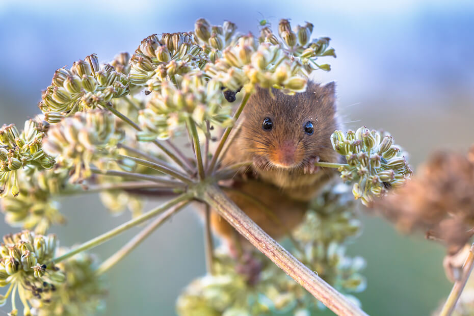 Shutterstock: Eurasian Harvest mouse (Micromys minutus) feeding on seeds of cow parsley (Anthriscus sylvestris) and looking in the camera
