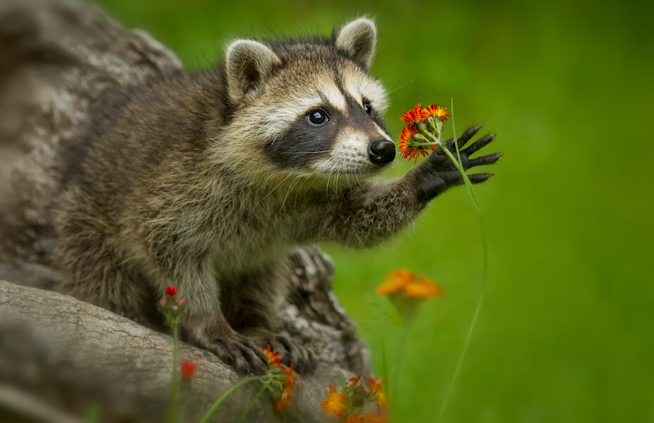 Shutterstock: Raccoon in Minnesota under controlled conditions Agnieszka Bacal.