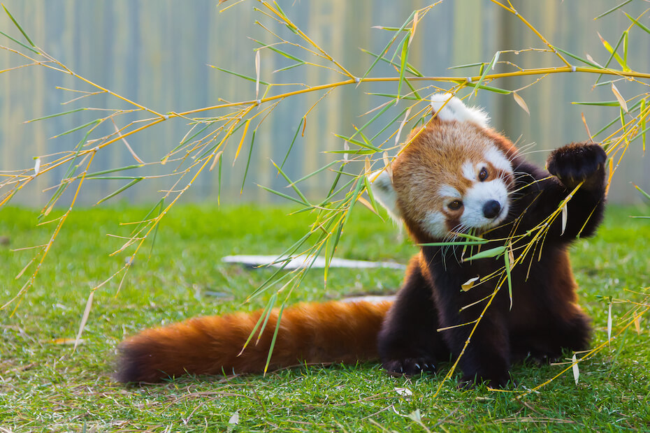 Shutterstock: The panda red or lesser panda (Ailurus fulgens)