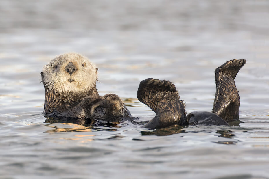 Shutterstock: White faced California Sea Otter floating on his back. warming his flippers, which are up in the air
