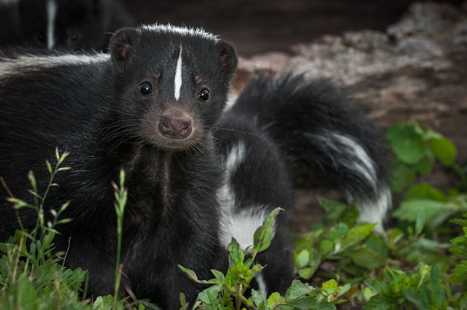 Shutterstock: Striped Skunk (Mephitis mephitis) Doe Peers Out From Ground Summer - captive animal