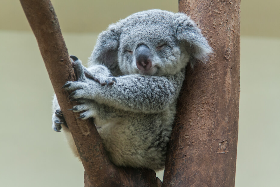 Shutterstock: koala resting and sleeping on his tree with a cute smile