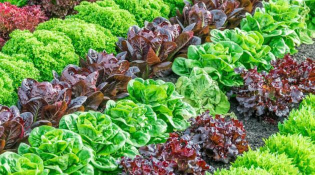 Shutterstock: lettuce