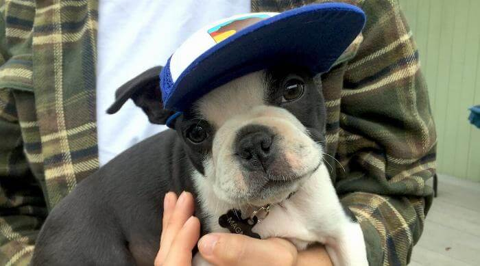 Magnus the boston terrier in blue puplid