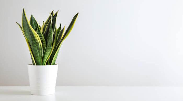 Shutterstock Snake Plant